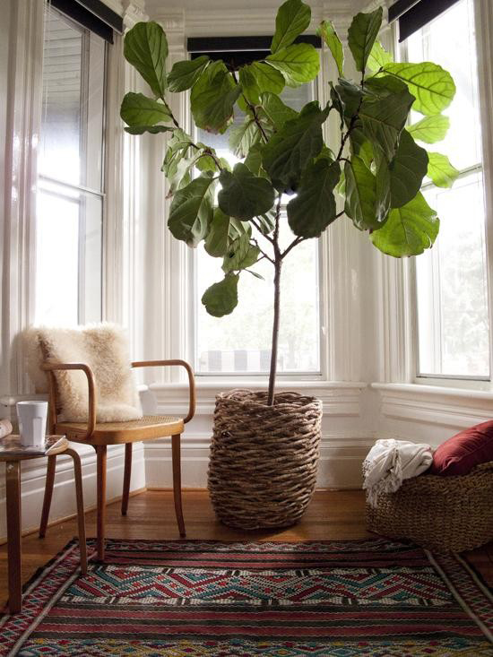 Fiddle Leaf Plant - The Aligned Life